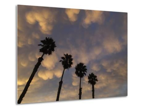 Mexican Fan Palms at Sunrise-Michael Melford-Metal Print