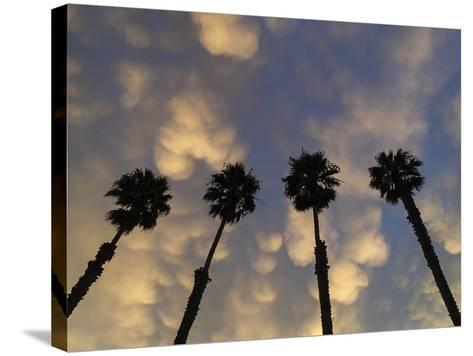 Mexican Fan Palms at Sunrise-Michael Melford-Stretched Canvas Print