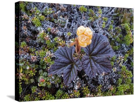A Close Up of a Cloudberry Bush-Michael Melford-Stretched Canvas Print