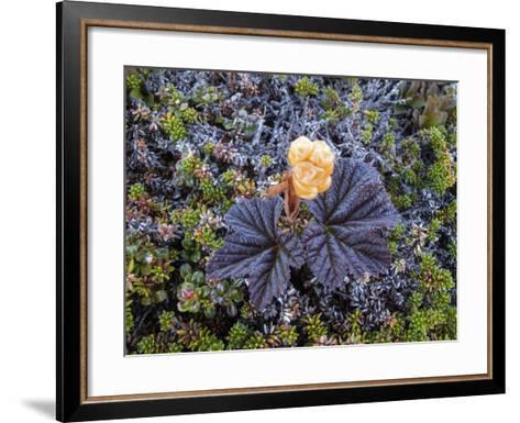 A Close Up of a Cloudberry Bush-Michael Melford-Framed Art Print