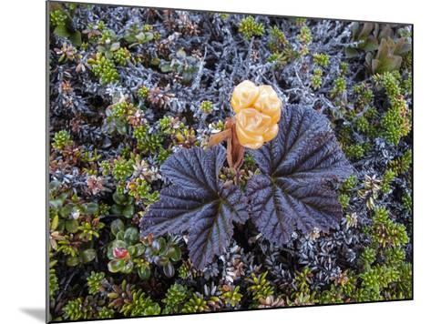 A Close Up of a Cloudberry Bush-Michael Melford-Mounted Photographic Print