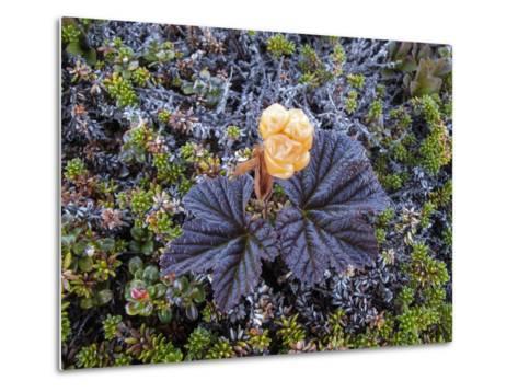 A Close Up of a Cloudberry Bush-Michael Melford-Metal Print