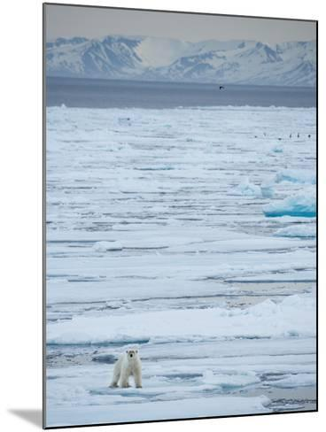 A Lone Polar Bear Traverses the Pack Ice on Hinlopen Strait-Michael Melford-Mounted Photographic Print