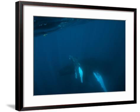 A Humpback Whale Mother and Calf-Cesare Naldi-Framed Art Print