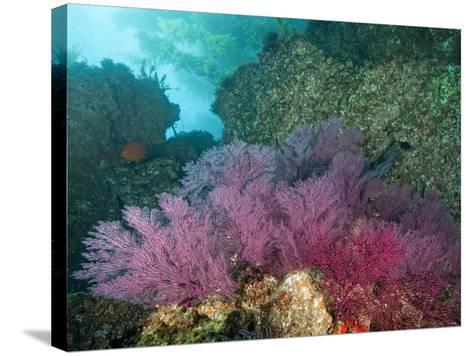 A Coral Formation-Cesare Naldi-Stretched Canvas Print