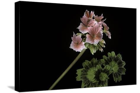Pelargonium X Hortorum 'Stellar Rose' (Common Geranium, Garden Geranium, Zonal Geranium)-Paul Starosta-Stretched Canvas Print