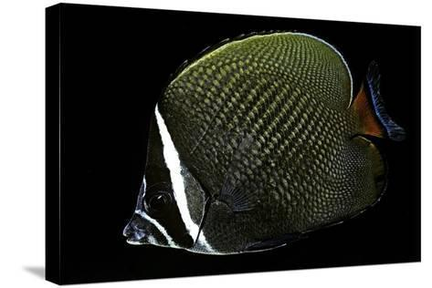 Chaetodon Collare (Redtail Butterflyfish, Collared Butterflyfish)-Paul Starosta-Stretched Canvas Print
