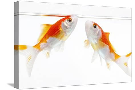 Goldfish Swimming in Water-Herbert Kehrer-Stretched Canvas Print