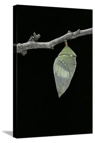 Morpho Peleides (Blue Morpho) - Pupa before Emergence-Paul Starosta-Stretched Canvas Print