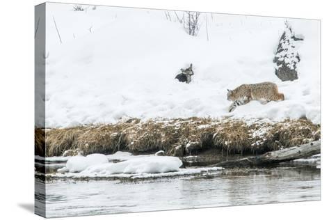 Bobcat Stalking a Muskrat-Rob Tilley-Stretched Canvas Print