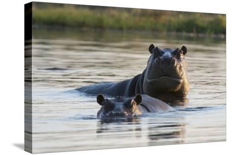 Hippopotamuses-Sergio Pitamitz-Stretched Canvas Print