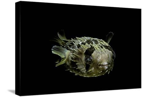 Diodon Holocanthus (Longspined Porcupinefish, Freckled Porcupinefish)-Paul Starosta-Stretched Canvas Print