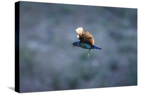 Cape Glossy Starling in Flight-Richard Du Toit-Stretched Canvas Print
