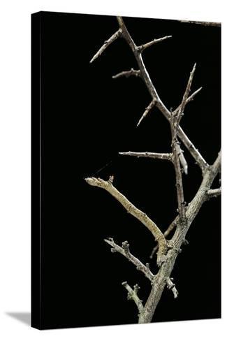 Ennomos Sp. (Thorn Moth) - Caterpillar or Inchworm Camouflaged on Twigs-Paul Starosta-Stretched Canvas Print