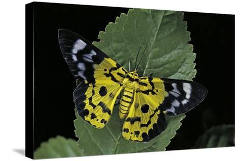 Dysphania Sp. (Moth)-Paul Starosta-Stretched Canvas Print
