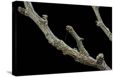 Gnophos Sp. (Annulet) - Caterpillar or Inchworm Camouflaged on Twig-Paul Starosta-Stretched Canvas Print