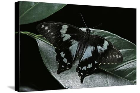 Papilio Epiphorbas (Tearful Swallowtail)-Paul Starosta-Stretched Canvas Print