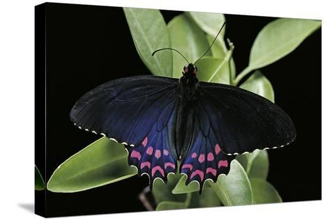 Parides Photinus (Pink-Spotted Cattleheart)-Paul Starosta-Stretched Canvas Print