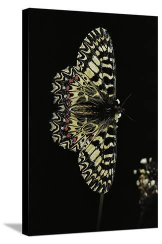 Zerynthia Polyxena (Southern Festoon)-Paul Starosta-Stretched Canvas Print