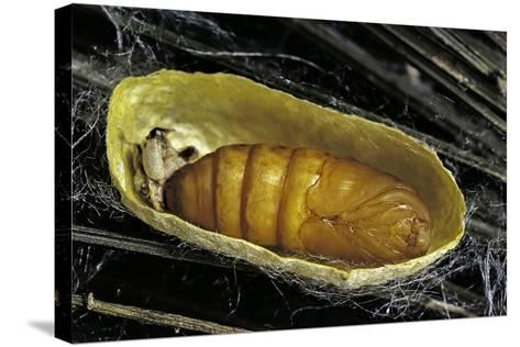 Bombyx Mori (Common Silkmoth) - Pupa inside the Cocoon-Paul Starosta-Stretched Canvas Print