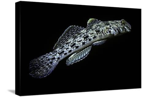 Istigobius Ornatus (Ornate Goby, Ornate Sandgoby)-Paul Starosta-Stretched Canvas Print