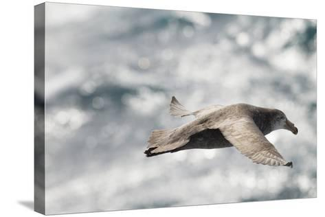 Southern Giant Petrel-Joe McDonald-Stretched Canvas Print