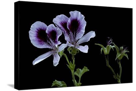 Pelargonium X Domesticum 'Spring Park' (Regal Geranium)-Paul Starosta-Stretched Canvas Print