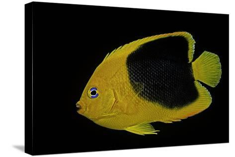 Holacanthus Tricolor (Rock Beauty, Corn Sugar, Coshubba, Rock Beasty, Yellow Nanny)-Paul Starosta-Stretched Canvas Print