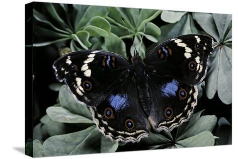 Junonia Oenone (Dark Blue Pansy)-Paul Starosta-Stretched Canvas Print