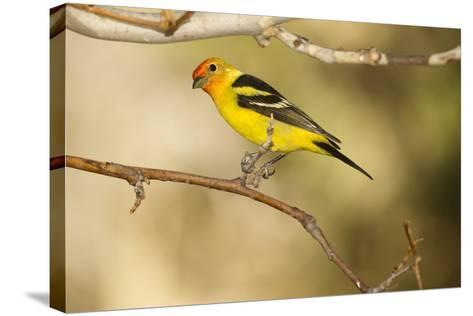 Western Tanager-Joe McDonald-Stretched Canvas Print