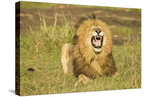 African Male Lion-Mary Ann McDonald-Stretched Canvas Print