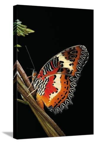 Cethosia Hypsea (Malay Lacewing)-Paul Starosta-Stretched Canvas Print
