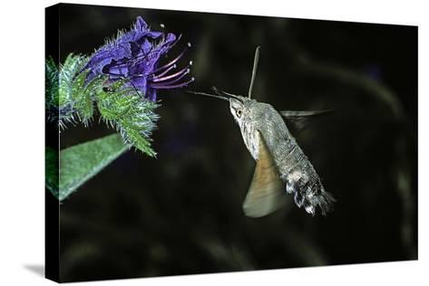 Macroglossum Stellatarum (Hummingbird Hawk-Moth) - Flying and Feeding on Flower Nectar-Paul Starosta-Stretched Canvas Print