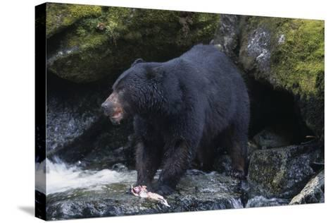 Black Bear Eating Fish in Stream-DLILLC-Stretched Canvas Print