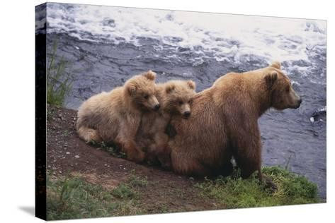 Grizzly Cubs with Mother by River-DLILLC-Stretched Canvas Print