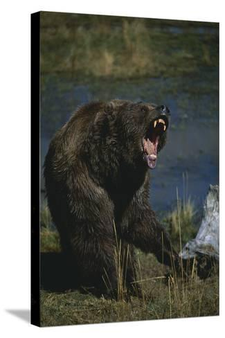 Grizzly Roaring-DLILLC-Stretched Canvas Print