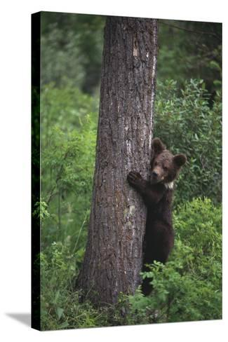 Grizzly Cub on Tree-DLILLC-Stretched Canvas Print