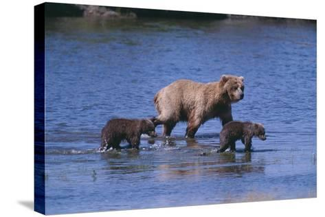 Grizzly Cubs with Mother in River-DLILLC-Stretched Canvas Print