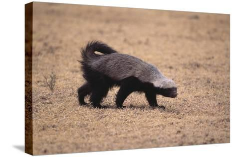 Ratel, or Honey Badger-DLILLC-Stretched Canvas Print