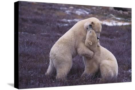 Polar Bears Hugging-DLILLC-Stretched Canvas Print