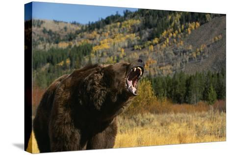 Grizzly Roaring in Field-DLILLC-Stretched Canvas Print
