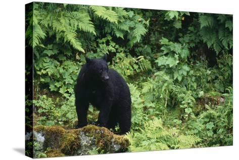Black Bear in Forest-DLILLC-Stretched Canvas Print