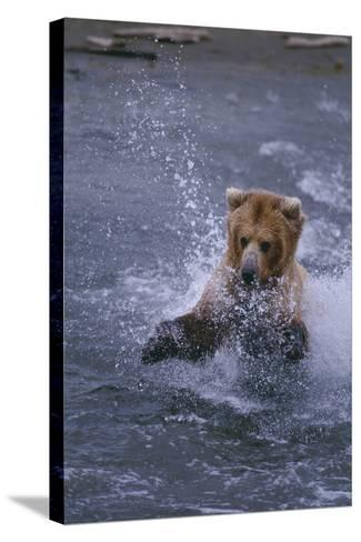 Grizzly Splashing in Water-DLILLC-Stretched Canvas Print