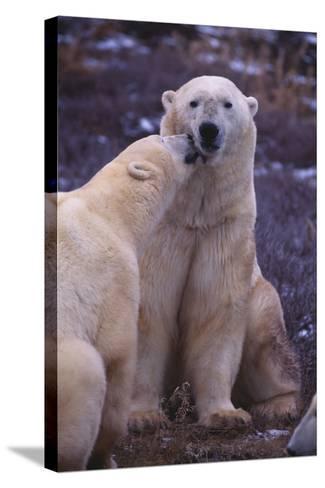Polar Bears Nuzzling-DLILLC-Stretched Canvas Print