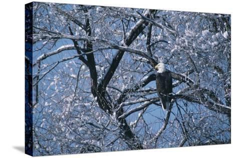 Bald Eagle Perching in Tree-DLILLC-Stretched Canvas Print