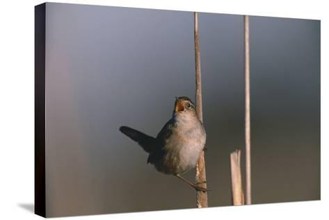Marsh Wren Singing-DLILLC-Stretched Canvas Print