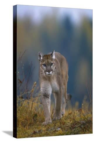 Cougar in Autumn-DLILLC-Stretched Canvas Print