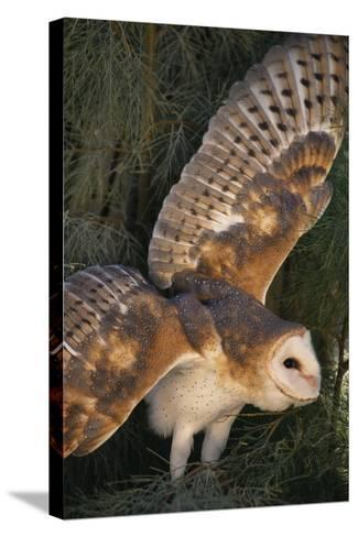 Barn Owl-DLILLC-Stretched Canvas Print