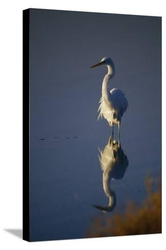 Great Egret and Reflection-DLILLC-Stretched Canvas Print