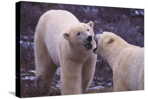Polar Bears Fighting-DLILLC-Stretched Canvas Print
